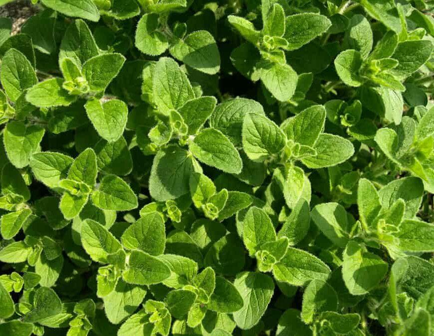 Origanum vulgare ssp. vulgare: Chemical Composition and Biological Studies.